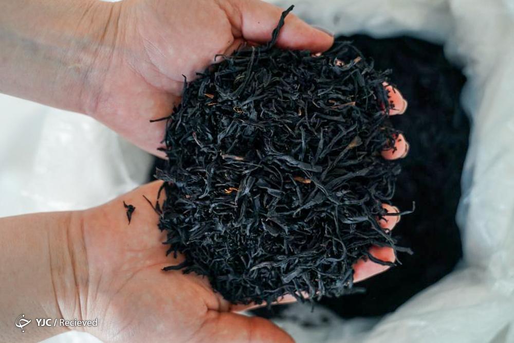 رشد 7 درصدی فراوری برگ سبز چای؛ 20 درصد مطالبات چایکاران پرداخت شد