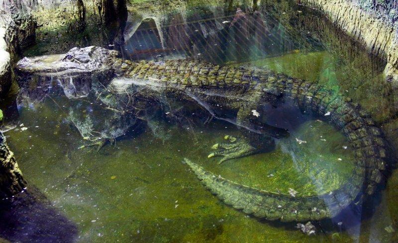 تمساح بازمانده از جنگ جهانی دوم مُرد