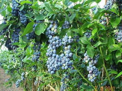 آیا میوه بلوبری را می شناسید؟